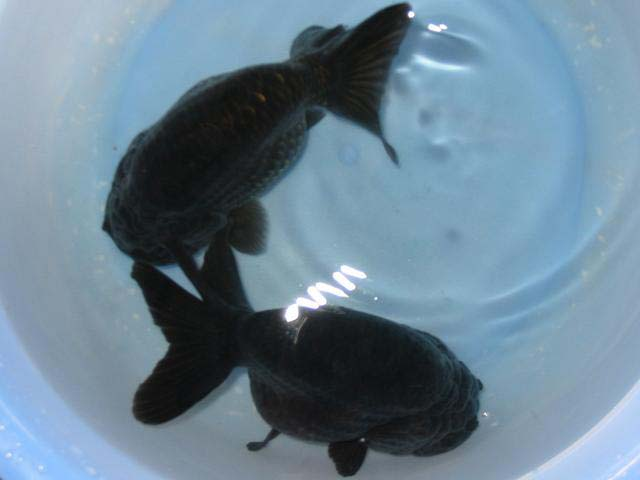 Black ranchu